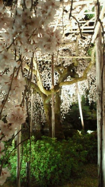紅しだれ桜写真